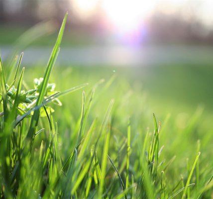 jak siać trawę